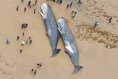 Sperm Whales Found Dead In Germany, Stomachs FULL Of Plastic And Car Parts - http://eradaily.com/sperm-whales-found-dead-germany-stomachs-full-plastic-car-parts/