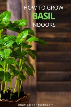 How To Propagate Basil From Cuttings Or Seeds (With Pictures) - Smart Garden Guide - Modern Design Hydroponic Herb Garden, Herb Gardening, Indoor Gardening, Container Gardening, Grow Banana Tree, Koi Pond Design, Snake Plant Care, House Plant Care, House Plants