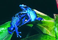 Poison dart from also known as dart-poison frog, poison frog or poison arrow frog.