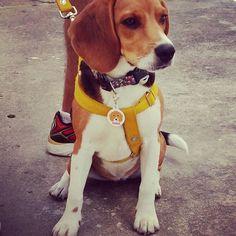 Olhaaa que lindo que eu acabei de ganhar do papai e mamãe! Tag de identificação personalizada com a minha marca @petparentsbrasil... by @pet.ids ... ameiii.. #vempronossomundo #somostodosloucosporeles #doglovers #petlovers #petparentsbrasil #beagle #beaglelovers