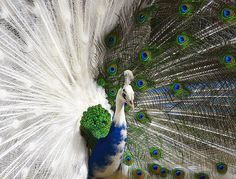 Half-Albino Peacock