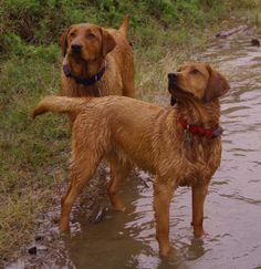 Fox Red Labrador... Like my Nattie ❤ RIP