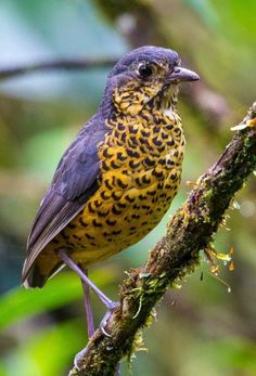 Undulated Antpitta, Grallaria squamigera. A large insectivore of the Andes Mtns: PE/ EC/ VE/ BO/ CO. photo: Liz Lauer