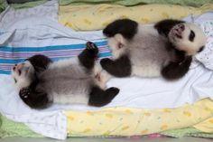 Panda Twin Cubs Zoo Atlanta