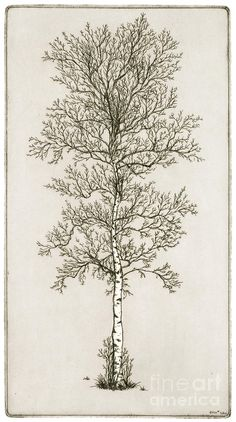 drawings of trees images | Birch Tree Drawing by Charles Harden - Birch Tree Fine Art Prints and ...