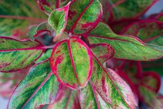 garden care yards Chinese Evergreen (Aglaonema Plant) Growing and Care Guide Greenhouse Plants, Balcony Plants, Indoor Plants, Indoor Flowers, Chinese Evergreen Plant, Chinese Plants, Red Plants, Inside Plants, Tropical Plants