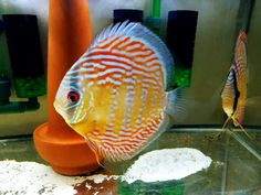 Photo gallery of Discus fish - Live Tropical Fish - Live Tropical Fish Discus Aquarium, Discus Fish, Freshwater Aquarium, Tropical Aquarium, Tropical Fish, Oscar Fish, Fish Gallery, Birthday Wishes And Images, Beautiful Fish