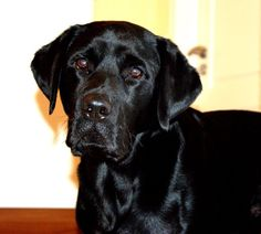 Labrador Rody Ein Leben ohne Hund ist ein Irrtum! #Hund: Rody / Rasse: #Labrador      Mehr Fotos: https://magazin.dogs-2-love.com/foto/labrador-rody/ Foto, Hund