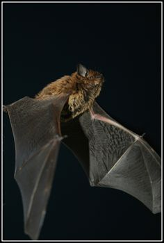 All Bat, Bat Animal, Bat Flying, Baby Bats, Creature Feature, Abstract Photography, Cute Animals, Creatures, Cats