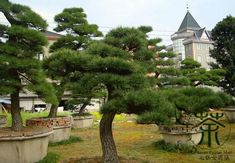 """subgenus Pinus, section, Pinus, subsection Pinus. This is one of the """"classic"""" old-world, hard pines. Trees And Shrubs, Trees To Plant, Pine Seeds, Japanese Tree, Bonsai Plants, Ornamental Plants, Garden Trees, Landscaping Plants, Cool Plants"""