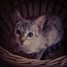 Mad cat in a basket