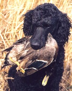 "Poodles were originally birding dogs in Germany so people need to stop hating on them! Their ""froo-froo"" hair cut even comes from their hunting background because it allowed them to stay warm in the water and keep from getting harmed!"