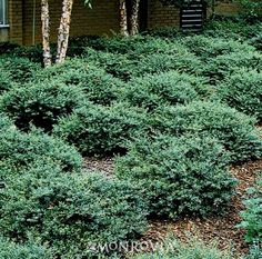 Stokes Dwarf Yaupon Holly- Dwarf evergreen shrub, its tight branches creating a spreading mound excellent for a low Hedges and Screens, as a border or around foundations. Tiny foliage on twiggy branches, takes well to shearing. Garden Shrubs, Landscaping Plants, Lawn And Garden, Farmhouse Landscaping, Garden Club, Shade Garden, Landscaping Ideas, Small Shrubs, Trees And Shrubs