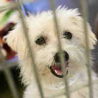 Phoenix Az Maltese Meet A Dog For Adoption Dog Adoption Dogs Kitten Adoption