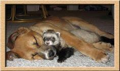 sleeping ferret with dog