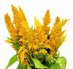 Celosia - Spring, Summer, Fall - Mayesh Wholesale Florists - Search our Flower Library
