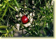Quandongs - Australian Bush Food - Nullarbor Travel Guide