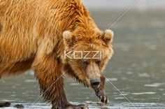 A brown bear playing in shallow water