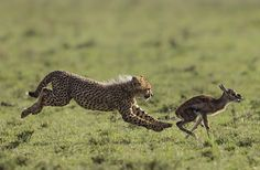 young cheetahs learning to hunt thomson's gazelles and springbok in masai mara. for the particularly young cubs, a mother cheetah will often chase down a fawn and only slightly injure it so that her cubs are able to chase it down (thought they often don't know how to finish the kill).