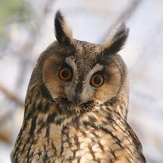long-eared owl(photo by m.geven)