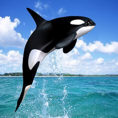 Killer whale / Orcas (Norway) - is actually dolphin