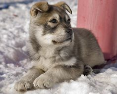 Adorable - A three-month old husky/German shepherd mix soaks up the afternoon sun in Iqaluit while waiting for his owner to get coffee. Description from pinterest.com. I searched for this on bing.com/images