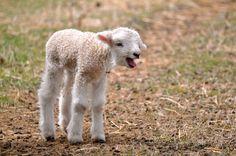 Sheep Farm, Sheep And Lamb, Romney Sheep, Farm Layout, Farm Art, Farm Fence, Down On The Farm, Cute Photos, Livestock
