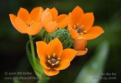 http://www.billsphotooftheday.com/2006/03/25/Sun-Star-orange-perennial-flower-by-Bill-Heller.jpg