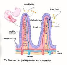 The Villi are small finger like projections of the wall of the small intestine which extend into the interior space of the small intestine. They need cleansing as well as they have an important role in absorbing all the nutrition you eat. like to find out more, drop us a line