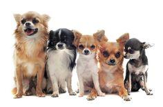 The Chihuahua   ChihuahuaLiscious