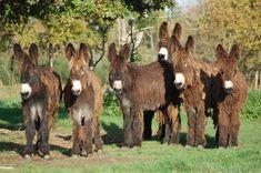 Poitou Donkeys                                                                                                                                                                                 More