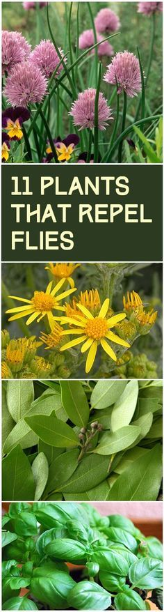 11 Plants that Repel Flies - plant these around your deck or patio to help keep…