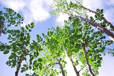 #Moringa oleifera tree >>>>>     You can find out more about Moringa here - http://www.bodymiracles.org