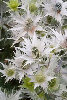 Giant Sea Holly flowers Eryngium Giganteum 'Silver Ghost' * Perennial, grows in poor soil, drought tolerant, full sun, tall. Unusual Flowers, Unusual Plants, White Flowers, Beautiful Flowers, Alpine Flowers, Tropical Flowers, Holly Flower, Holly Plant, Sea Holly