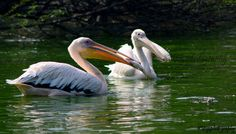 Great White Pelicans with catch ..fish