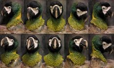 Golden collared macaw mask! not for sale yet by Crystumes
