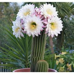 Dr. Planta: Cactos e Suculentas, Planta perfeita para quem não tem tempo ou Paciência para cuidar de plantas.