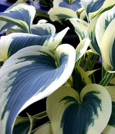 Kuunlilja firn line sinertävä Outdoor Plants, Blue Ivory, Garden Planning, Curb Appeal, Shrubs, Perennials, Different Colors, Planting Flowers, Roots