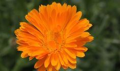 6 Fun Facts About the October Birth Flower