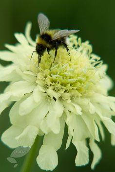 Giant scabious Cephalaria gigantea - a firm favourite with bees and other pollinators