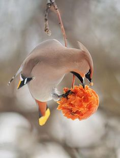 Waxwing by nataba - Pixdaus