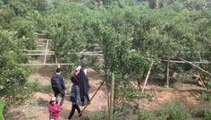Menikmati Jeruk Bw Langsung Dari Perkebunan Di Margototo