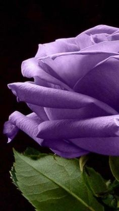 The Perfect Purple Rose