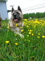 Elvis is an adoptable Akita Dog in Toms River, NJ. Elvis is a hunk of burning love! This is one big boy with super looks and a super personality to match. Elvis minds his manners well, is eager to ple...