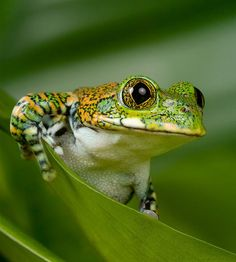 Peacock Tree Frog Photo by Sera D. on Flickr