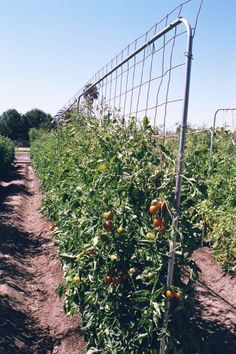 You can't grow healthy tomato without a tomato trellis or cages. Read this if you need plans and ideas to build a DIY trellis/cages in your garden. Growing Tomatoes Indoors, Tips For Growing Tomatoes, Growing Tomato Plants, Growing Tomatoes In Containers, Grow Tomatoes, Tomato Trellis, Diy Trellis, Tomato Cages, Garden Trellis
