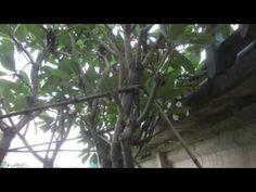 Cây Hoa Sứ có tên khoa học là Plumeria thuộc họ trúc đào có nguồn gốc từ Trung Mỹ và Caribe. Hoa được biết đền nhiều ở Việt Nam vì vẻ đẹp của nó, được nhiều người ưa thích và chọn cho mình loài hoa sứ này để trồng và chắm sóc