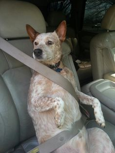 Smart Australian Cattle Dog! DIGGER