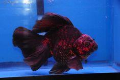 Red and Black Broad-Tail Ryukin Ryukin Goldfish, Comet Goldfish, Goldfish Aquarium, Goldfish Tank, Tropical Freshwater Fish, Tropical Fish, Fish Aquarium Decorations, Oscar Fish, Cool Fish