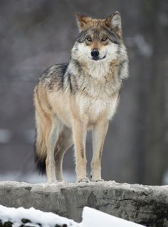 Mexican gray wolf (Canis lupus baileyi) by Chris Smith
